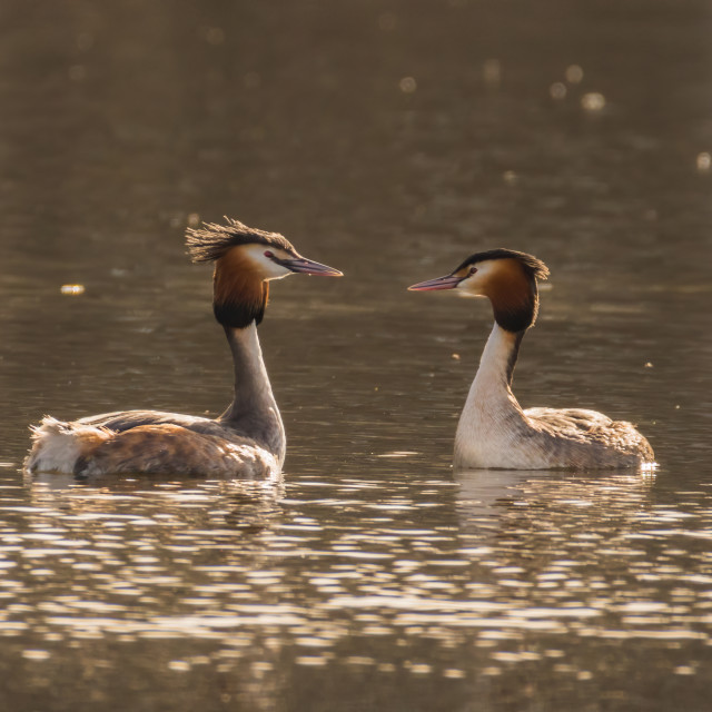 """Great Crested Grebe going through the courting ritual"" stock image"