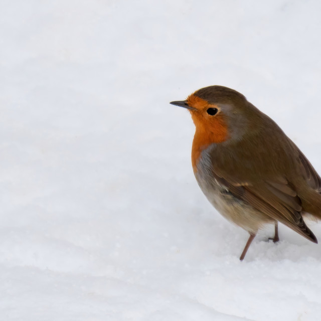 """Robin in the pure white snow"" stock image"