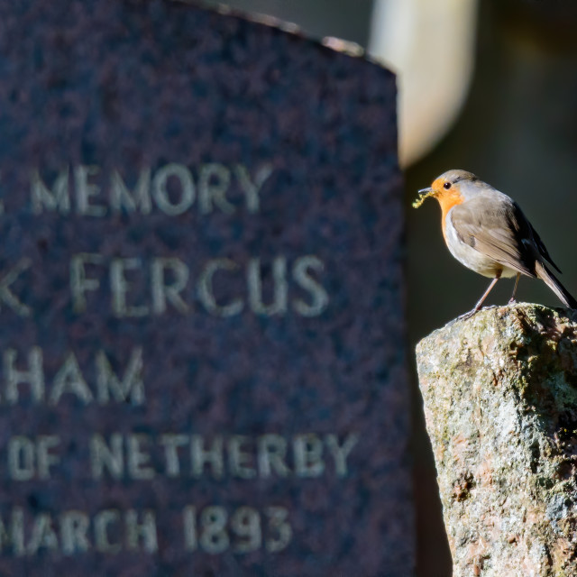 """Robin in a graveyard on a gravestone"" stock image"