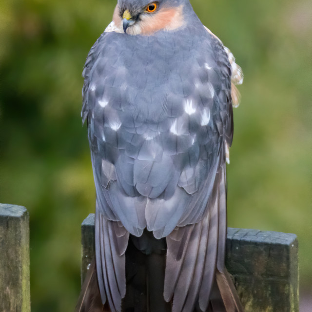 """Sparow Hawk with full head turn"" stock image"