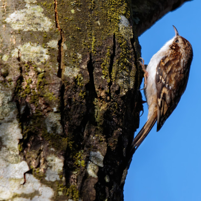 """Tree Creeper on a tree looking for bugs"" stock image"