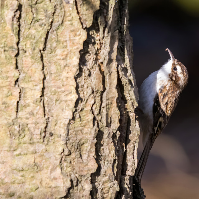 """Tree Creeper ona tree looking for bugs"" stock image"