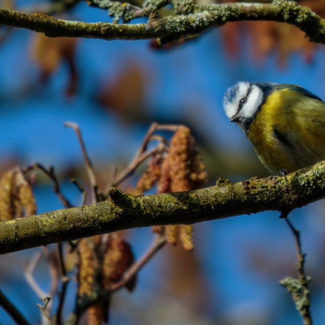 """Blue tit sitting on a branch looking down"" stock image"