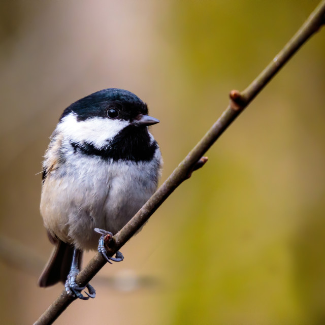 """Coal tit on a perched"" stock image"