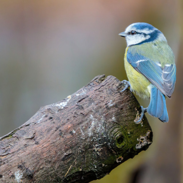"""Blue tit on Perch"" stock image"