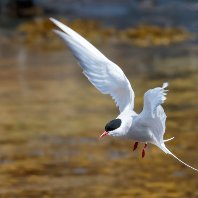 """Arctic Tern in flight"" stock image"