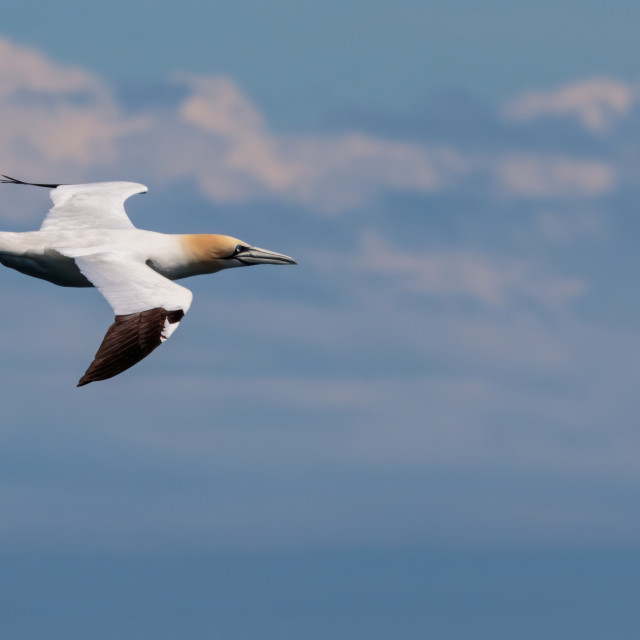 """Gannet in flight"" stock image"