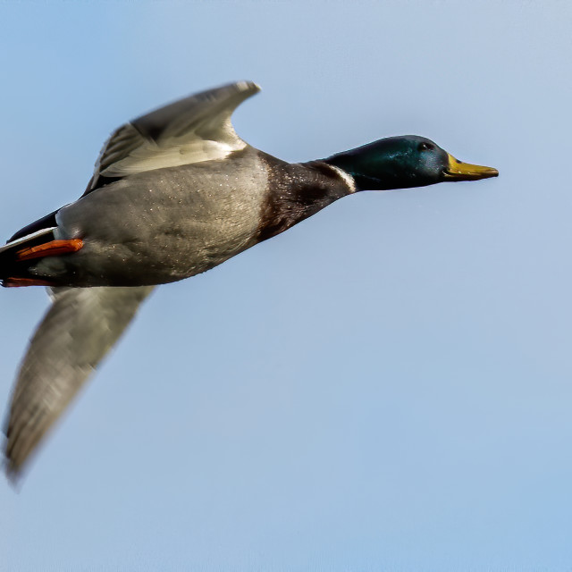 """Male Mallard in flight"" stock image"