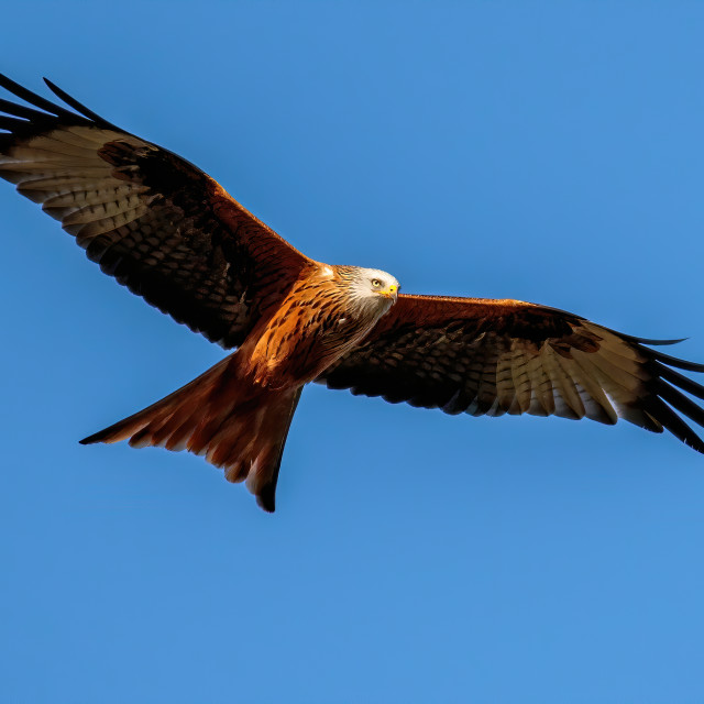 """Red Kite in the sky"" stock image"