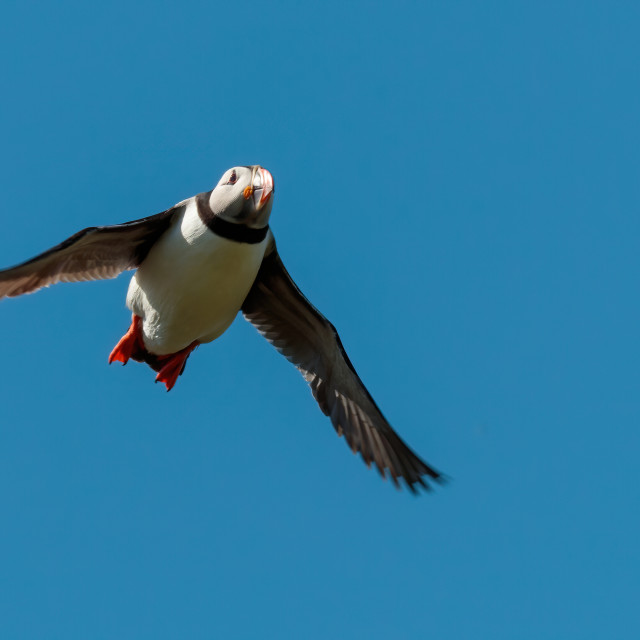 """Puffin of the Isle of may"" stock image"