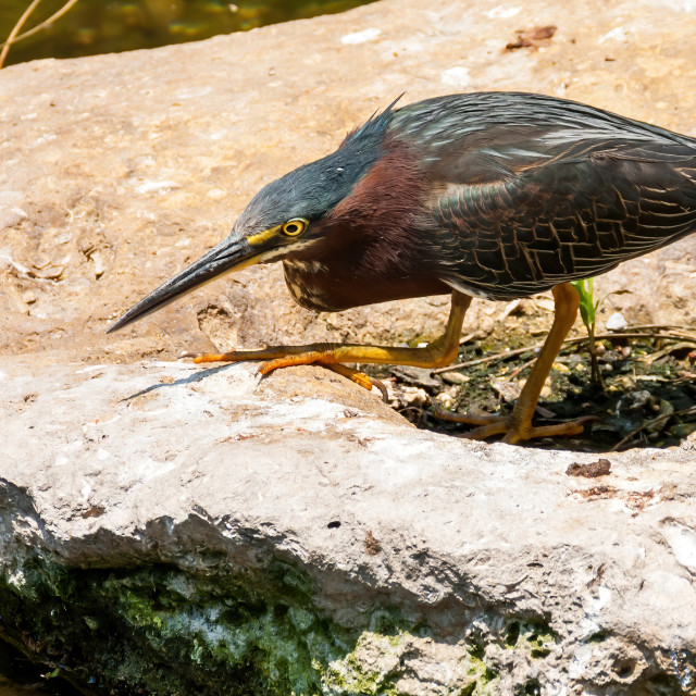 """Green Heron on the hunt"" stock image"