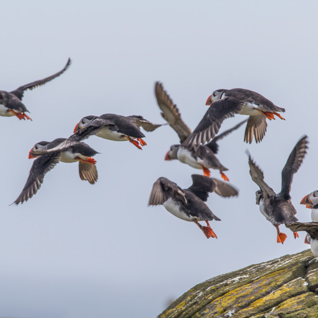 """Puffins on the Isle of May"" stock image"