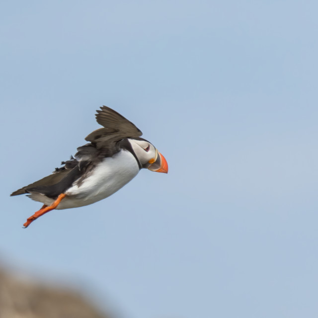 """Puffin on the Isle of May"" stock image"