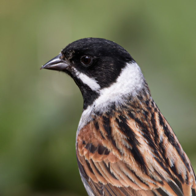 """Male Reed bunting close up"" stock image"