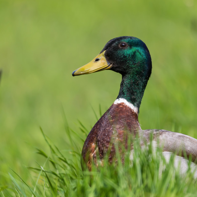 """Mallard duck in the grass"" stock image"