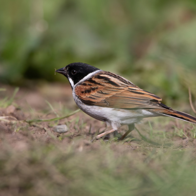 """Male Reed bunting looking for food"" stock image"