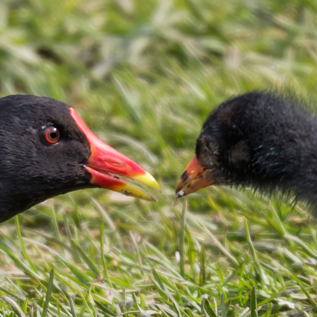 """Moorhen parent feeding baby"" stock image"