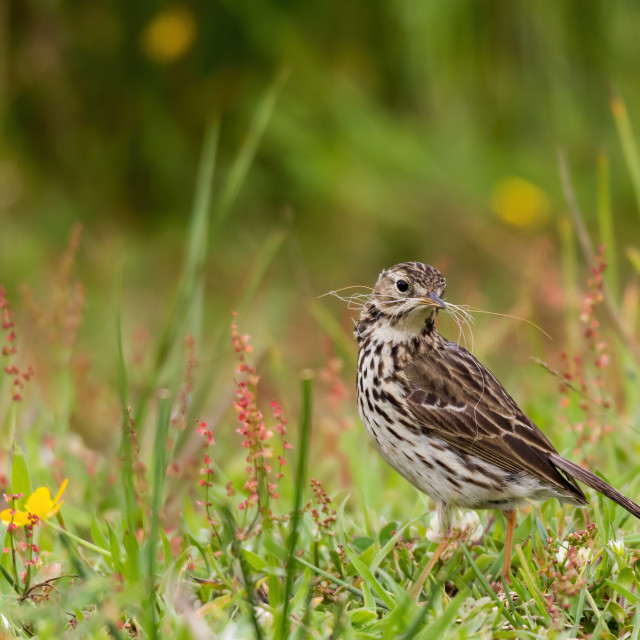 """Meadow Pipit down on the ground with nesting material"" stock image"