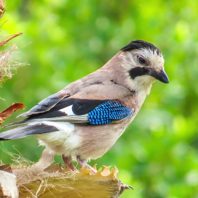 """A Jay on the tree"" stock image"