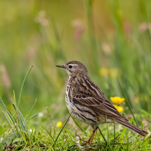 """Meadow Pipit down on the ground"" stock image"