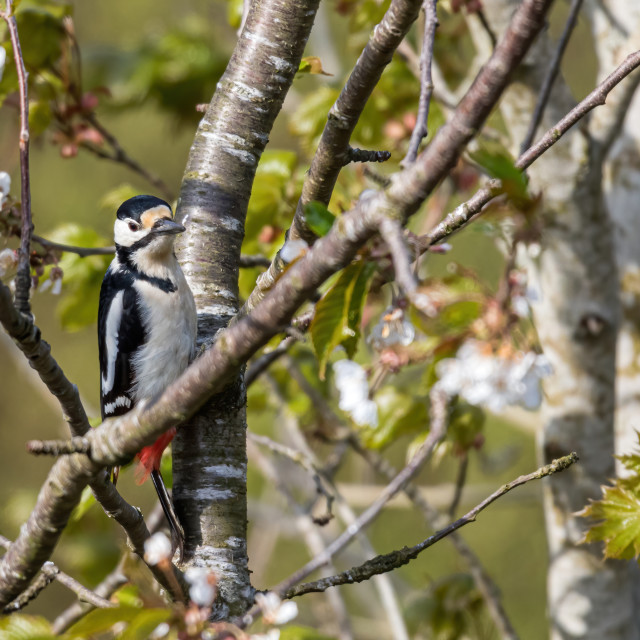 """Greater Spotted Woodpecker on a tree branch"" stock image"