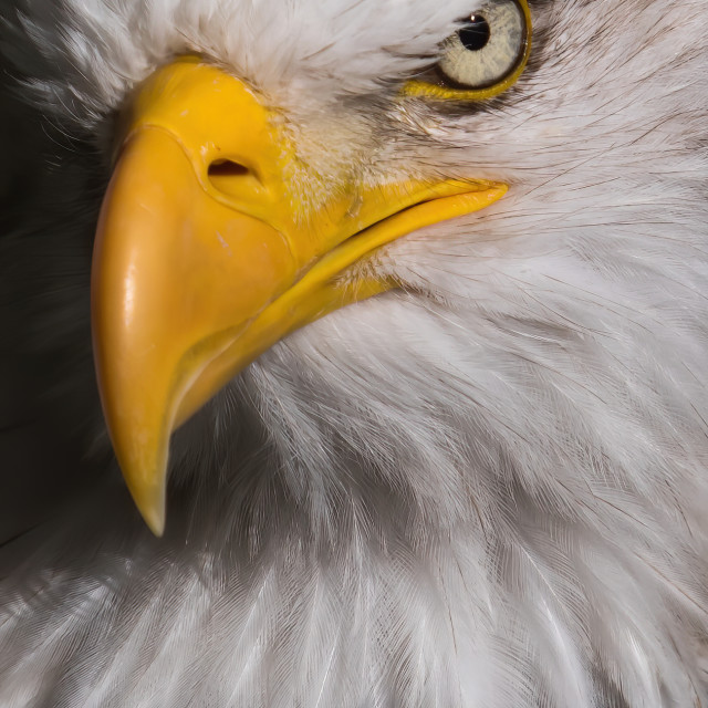"""A Bald headed eagle looking proud, close up"" stock image"