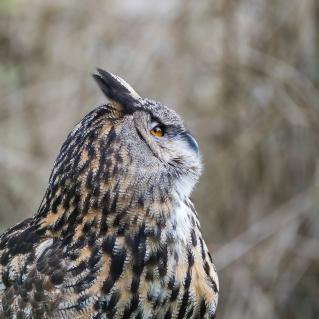 """Eagle Owl waiting and watching"" stock image"