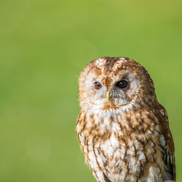 """Tawny Owl Waiting and watch"" stock image"