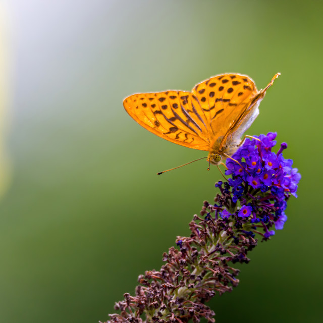 """Silver-washed fritillary on a budlea"" stock image"