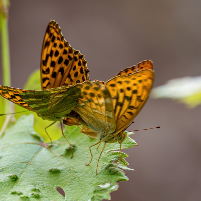 """Silver-washed fritillary mating"" stock image"