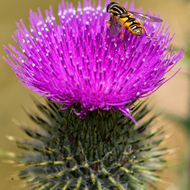 """Scottish Thistle with a hover fly"" stock image"