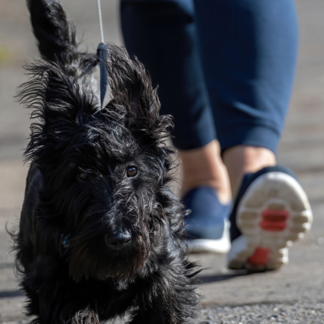 """""""Dougal the Scottie out for a stroll"""" stock image"""