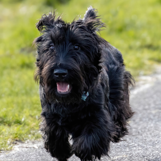"""""""Dougal the Scottie four feet of the ground"""" stock image"""