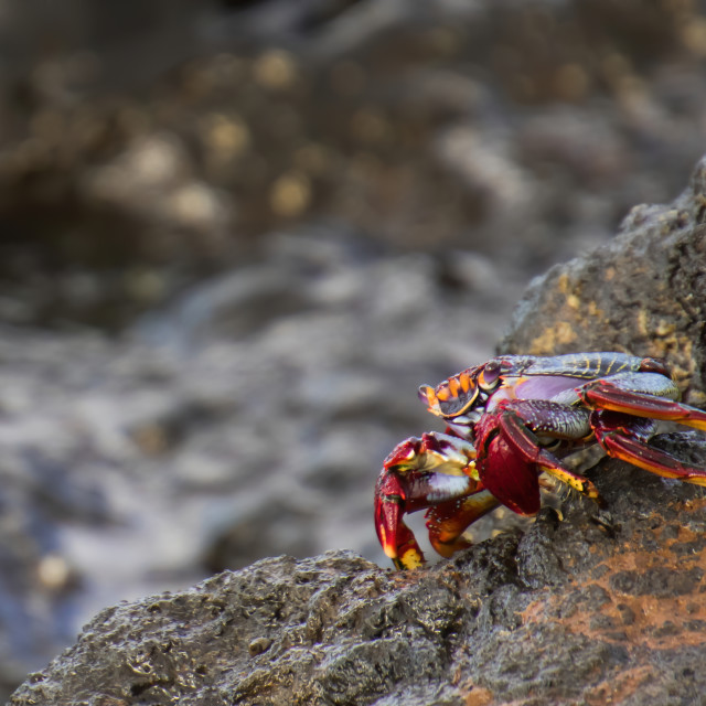 """""""Tenerife colourful Crab waiting on the rocks"""" stock image"""