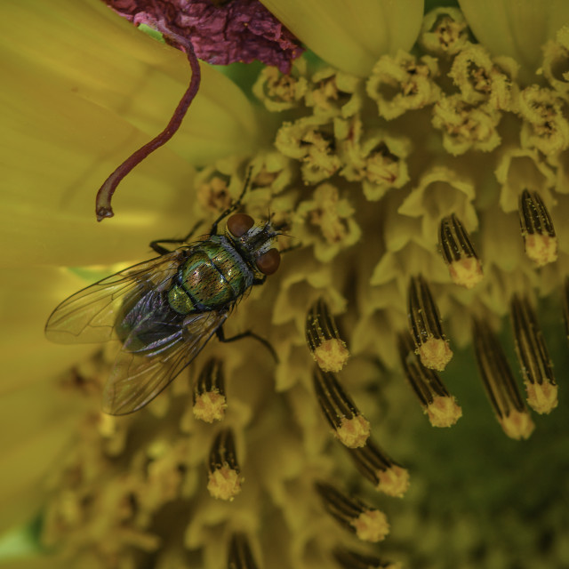 """""""Fly On A Sunflower"""" stock image"""