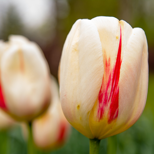 """Beautiful tulips in the garden"" stock image"