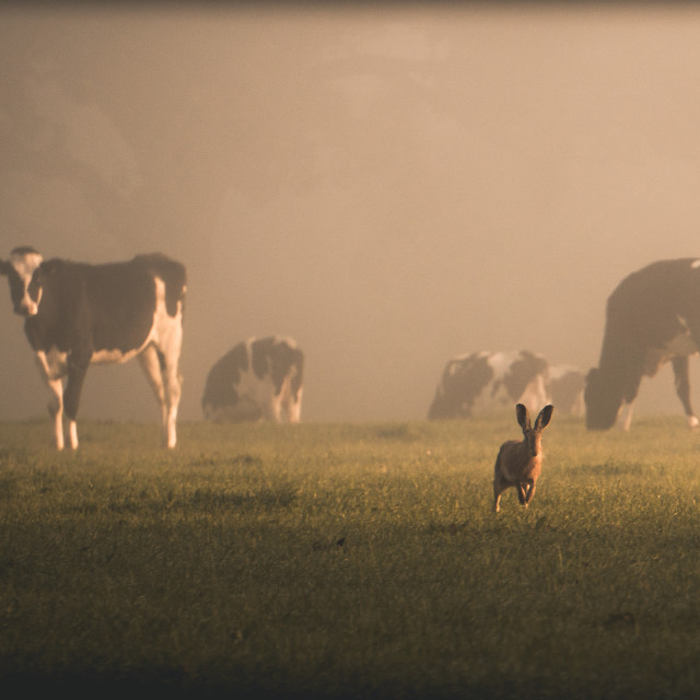 """""""Cow & Hare"""" stock image"""