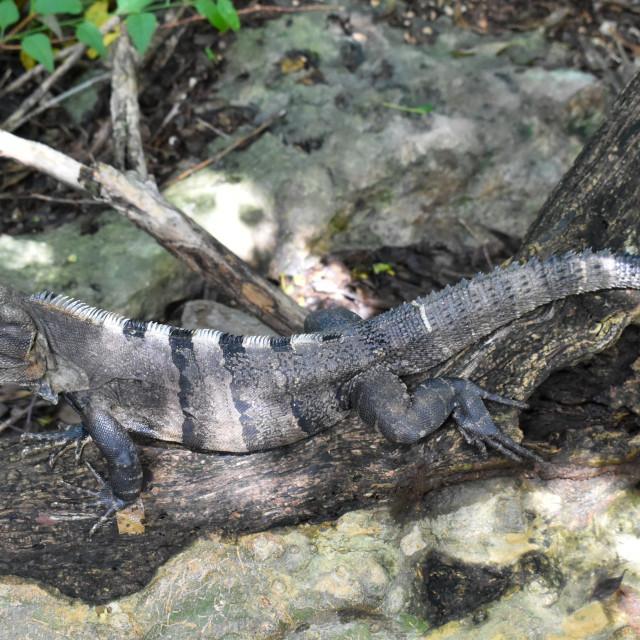 """Lazy lizard"" stock image"