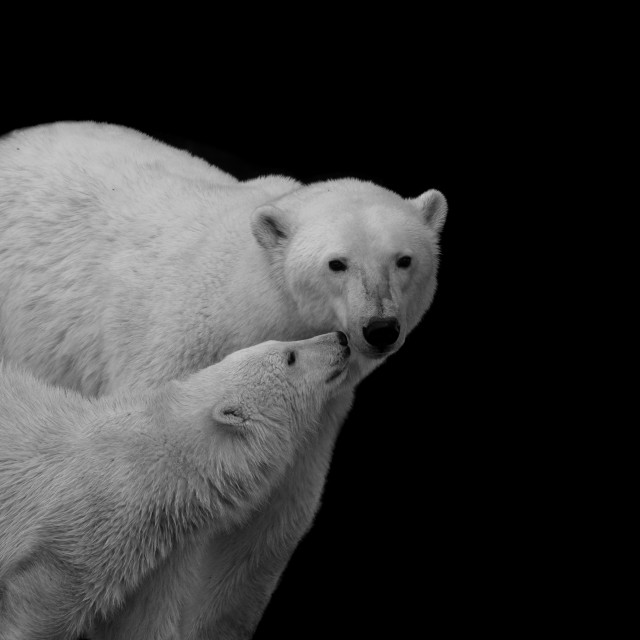 """Polar bear mother and cub"" stock image"