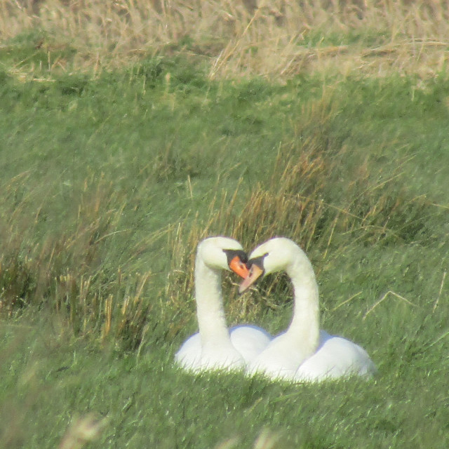"""Two swans with loveheart on Somerset Levels"" stock image"