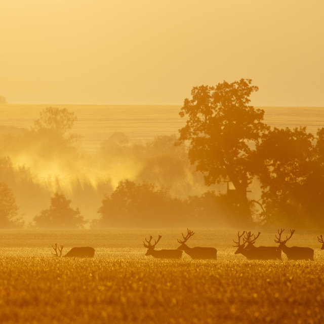 """Group of red deer stags walking together in the morning mist"" stock image"