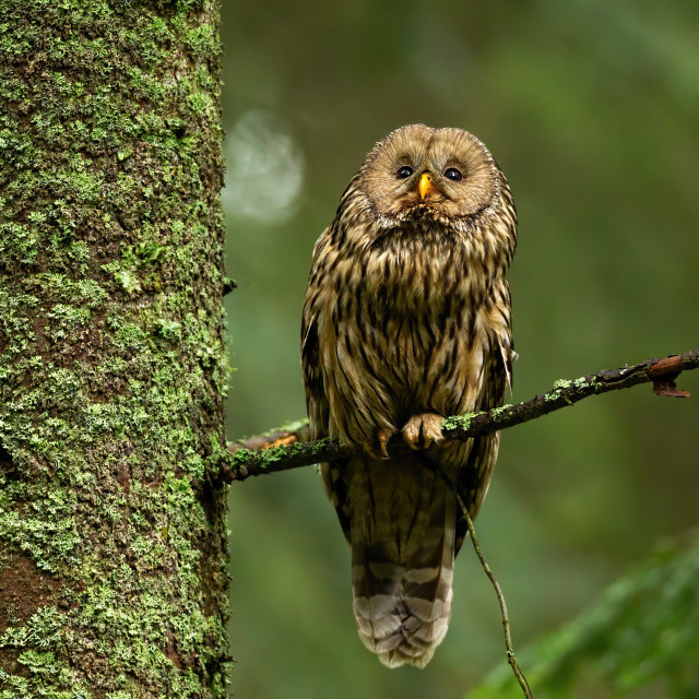 """Wise tawny owl looking up in summer forest and sitting on bough."" stock image"
