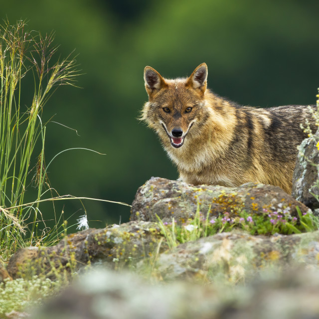 """Curious golden jackal hiding behind rocks in mountains"" stock image"