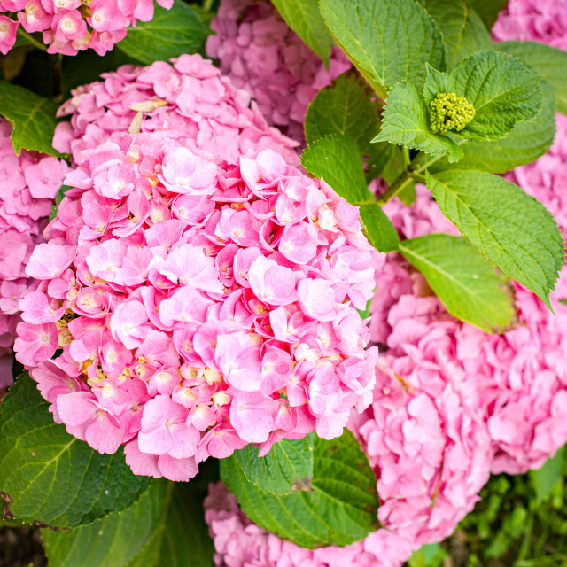 """small hydrangea bush with pink flowers in summer"" stock image"