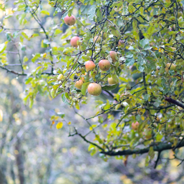 """apples on an apple tree in fog and morning dew"" stock image"