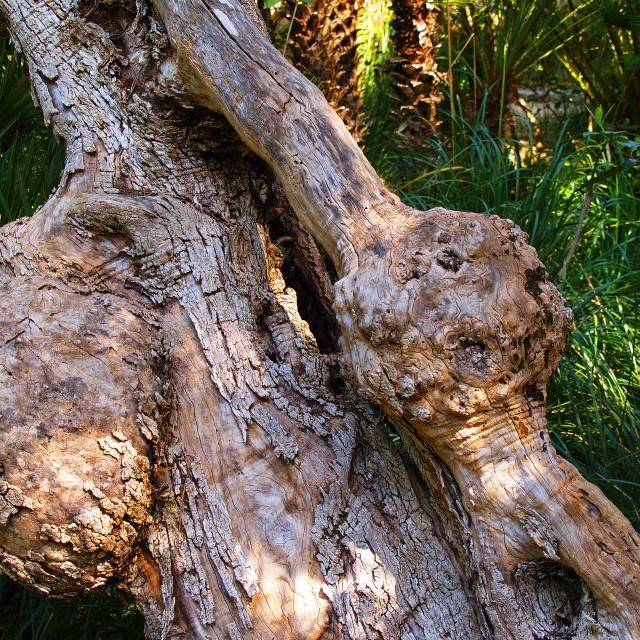 """""""Olive tree - Bark and Texture"""" stock image"""