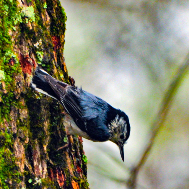 """""""White Breasted Nuthatch"""" stock image"""