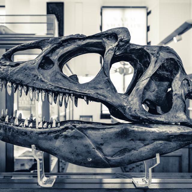 """""""Dinosaur Skull, Black & White"""" stock image"""