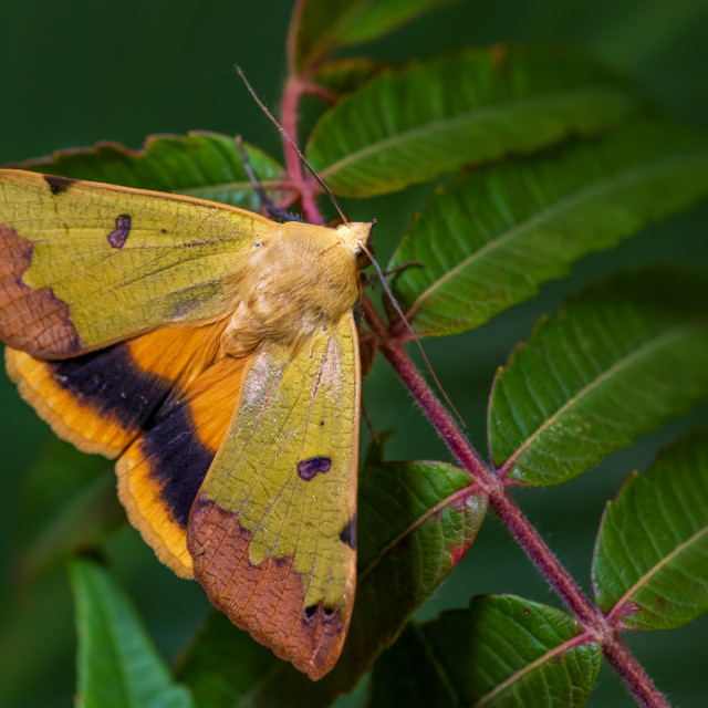 """Green Drab moth -Ophiusa tirhaca"" stock image"
