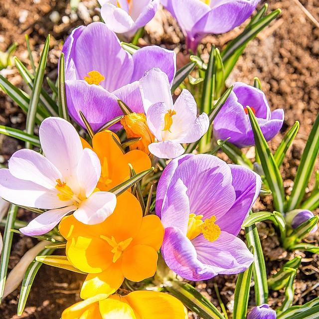 """""""Beautiful crocuses in the garden"""" stock image"""